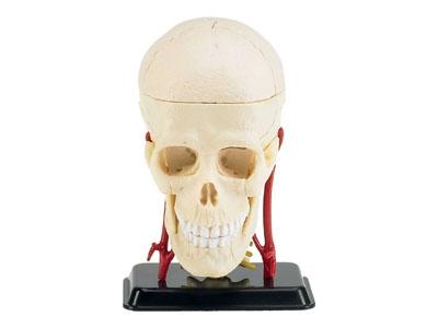 Menschlicher Schädel Revell 02102
